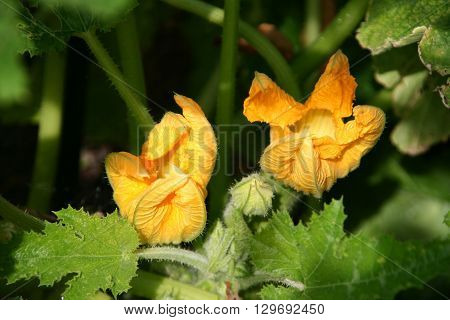 Fresh zucchini flowers on the plant in the garden.