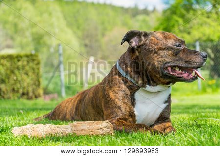 Dog Staffordshire bull terrier lying on freshly cutted grass with smile on his muzzle lolling tongue ( tongue out of mouth ) next to his chewed wooden stick with railing and nature on background.