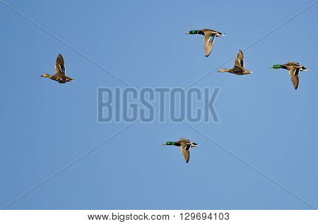 Flock of Mallard Ducks Flying in a Blue Sky