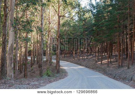 The road through pine and eucalyptus plantations to Noetsie a small village on the Indian Ocean coast near Knysna