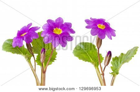 Purple primula flowers on a white background