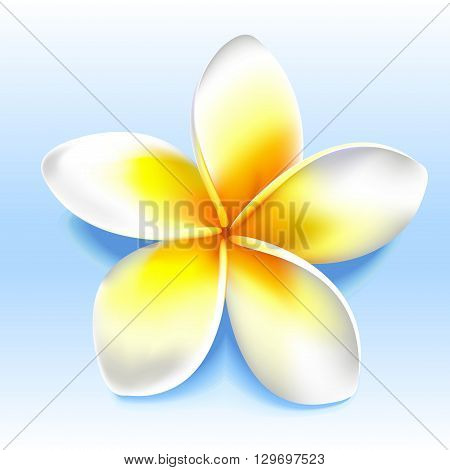 Beatiful yellow white frangipani plumeria shoji flower. Vector illustration without transparency.