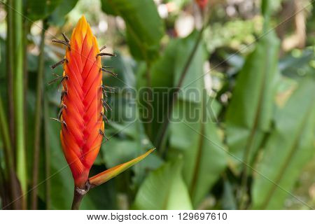 Red tropical flower Heliconia epicopalis vellozo, flora of Bolivia