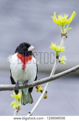 Rose-Breasted Grosbeak Perched on a Tree Branch