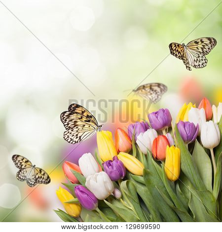 Colorful tulips over blur bokeh background for design and butterflies