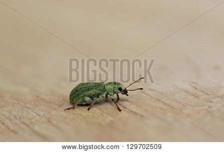That is a green weevil  on a wooden board