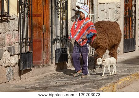 CUSCO, PERU - NOVEMBER 26 2011: Peruvian boy walking with family of lamas on the street of Cuzco Peru