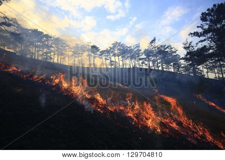 Pine forest fire. They burn hay to keep forest in Dalat, Vietnam