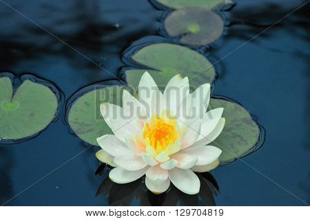 White Water Lily flower and lily pads on the water