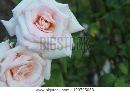 Two fully-bloomed blush pink roses in a garden with room for text