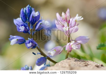 Common milkwort (Polygala vulgaris) blue and pink flower. Two colour forms of flowers of plant in the family Polygalaceae. A typical species of calcareous grassland meadows