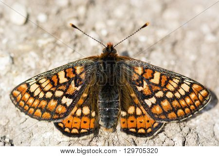 Marsh fritillary butterfly (Euphydryas aurinia) from above. Colourful upperside of scarce butterfly in the family Nymphalidae at rest on bare ground on a calcareous grassland meadow