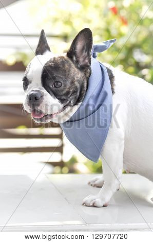 an absent-minded French bulldog in blur background