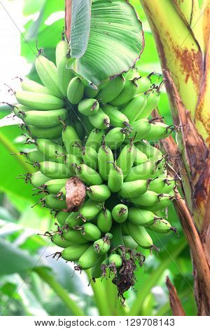 raw banana in banan tree in damnernsaduak, thailand