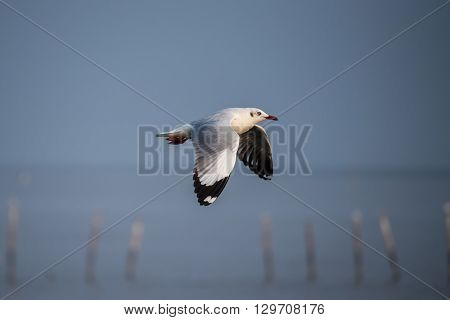 Brown-headed gull flying in the sky (nature)