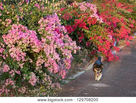 Colorful bougainvillea flower and dog walking on evening