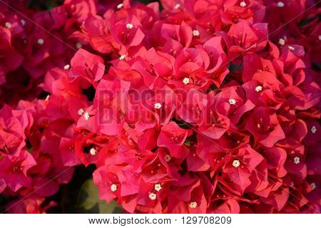 Purple bougainvillea background, tropical flower in Thailand