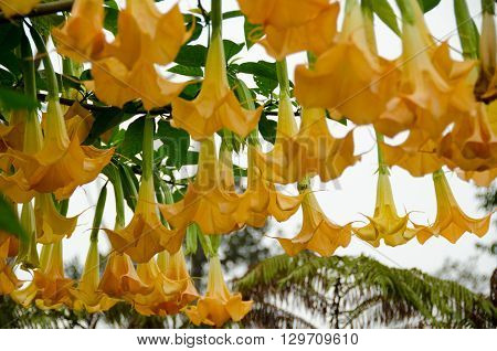 Rich Angel's Trumpet  Tree In Hualalai Volcano  Forest
