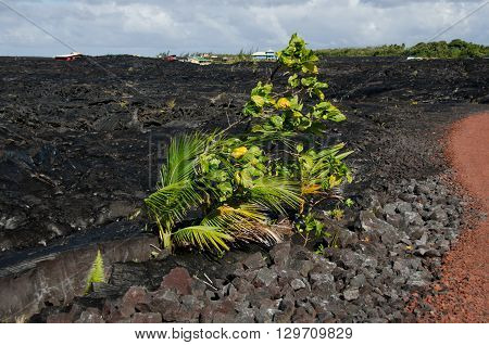 New Vegetation Near Kalapana Lava Flow