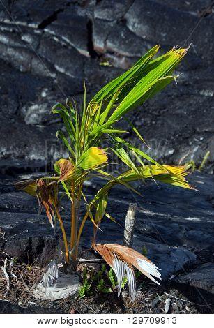 Gardening Near Kalapana Lava Flow