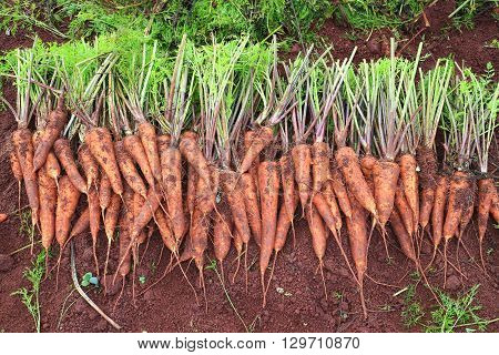 Harvesting carrots. Bunches of carrots with tops.