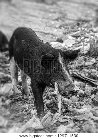 Pork eating nylon in a garbage dump in black and white