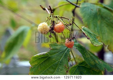 Fall Gold raspberries ripen on a bush during November in a garden in Joliet, Illinois.