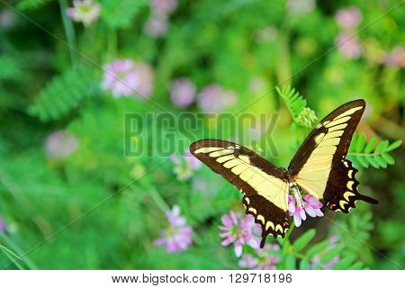 Yellow Queen Swallowtail Butterfly On Flowers Background
