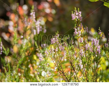 blooming heather in a sunny summer forest