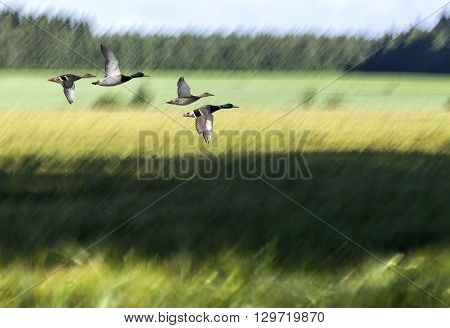 A blurry farmland in summer colors. Green and yellow fields, sunshine and shadows. Forest in the background. Wild duck in migration.