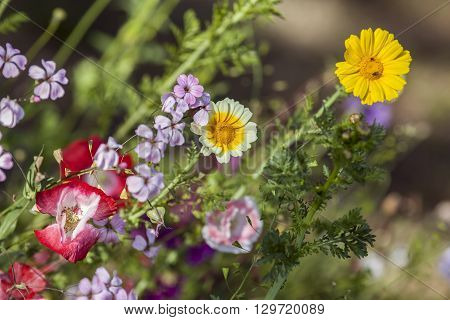 Flowers in a garden in closeup, macro. Colorful flowers in bright sunshine.