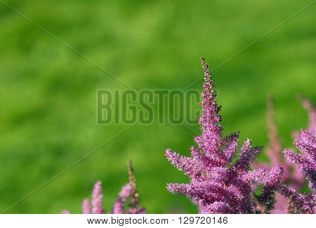 Closeup, macro on a pink and a flower, cluster in a garden. Buds and flowers in pink, red and rosy.