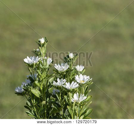 White flowers in a garden in closeup, macro. Lawn in the background, bright sunshine.