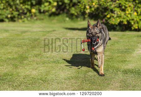 German Shepherd plays on a lawn. Moves ahead, forward the photographer.