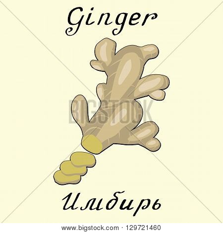 Ginger. Vector drawing and hand-lettering. In English and Russian texts. Eco Friendly. For labels flyers online stores. Natural cosmetic. Bio products. Food spices