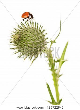 Macro. Ladybug on a flower burdock isolated on white background