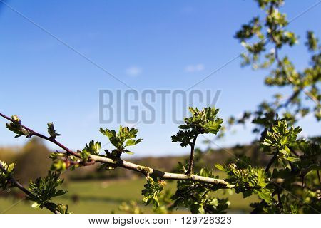 Close Up Of Thorn Bush Against A Blue Sky