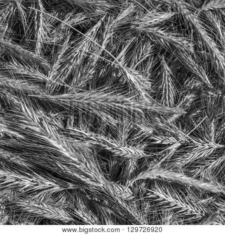 Black and white monochrome photo. Heap of organic whole rye ears. Rye grains photo background. Dry rye vegetarian and organic food.