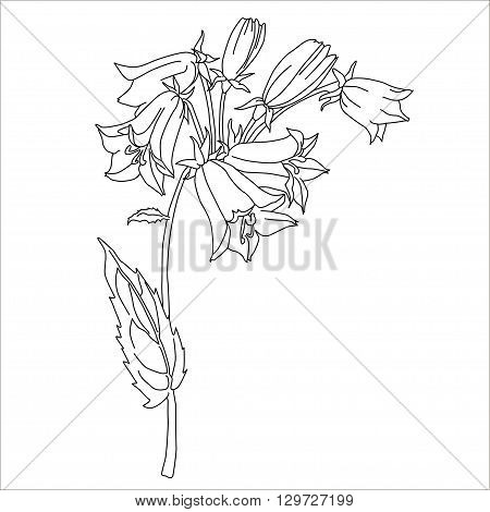 Herbs and Wild Flower. Botany. Harebell vintage flower. Black and white illustration in the style of engraving. Isolated vector.