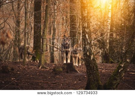 A pack of wolves in the forest.