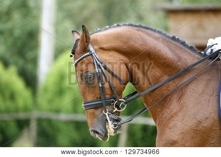 Face of a beautiful purebred racehorse on dressage training. Side view portrait of a dressage horse