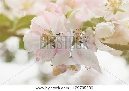 Closeup of blooming apple twig covered by water drops. Beautiful flower blossomed apple springtime.Flowers of apple with water drops. Beautiful spring apple-tree flowers backgroundSoft focus. Pink apple tree blossoms and water drops.