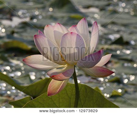 die Blume, pink lotus