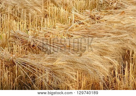 Wheat sheaves at the harvest in the field