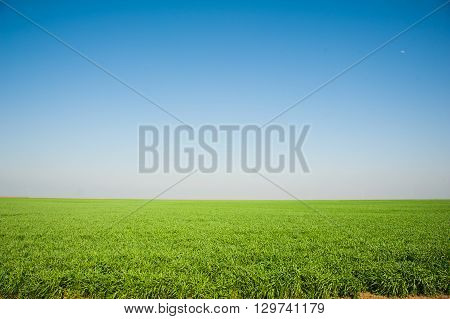 Field Of Winter Wheat Seedlings