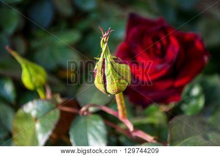 Unopened bud black rose. Macro. Hidden beauty. The birth of life.