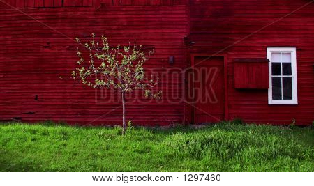Young Apple Tree Near Red Barn