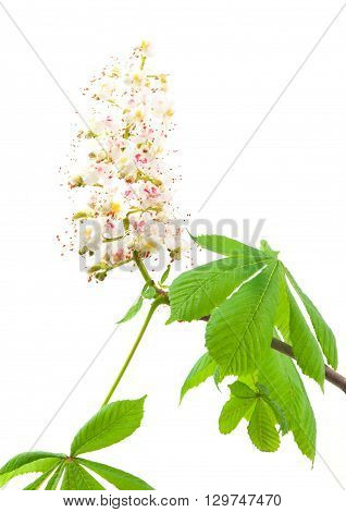Horse-chestnut (Aesculus hippocastanum Conker tree) flowers and leaf on a white background