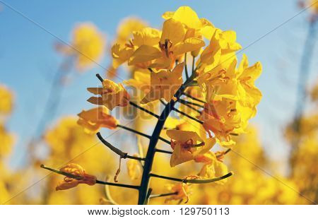Beautiful yellow rape plant  come into blossom