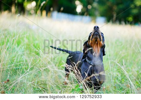Black Dachshund Among The Green Grass With His Head Held Up